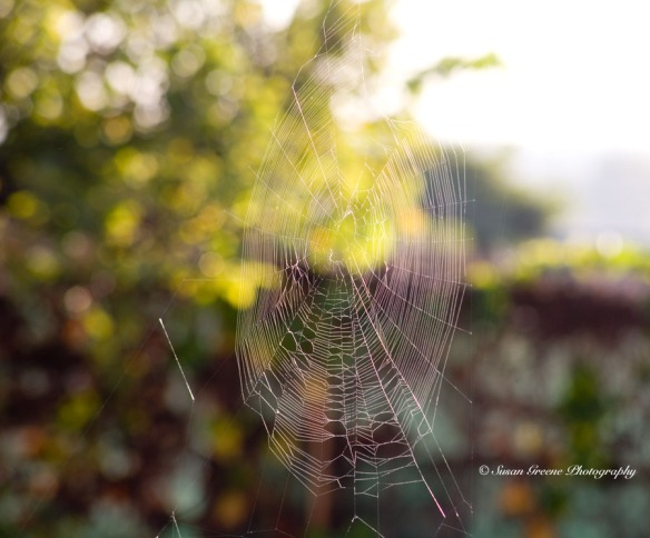 orb- weaving spider web