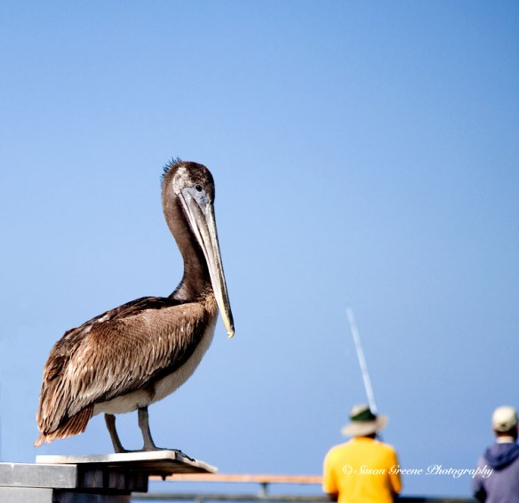 CA brown pelican