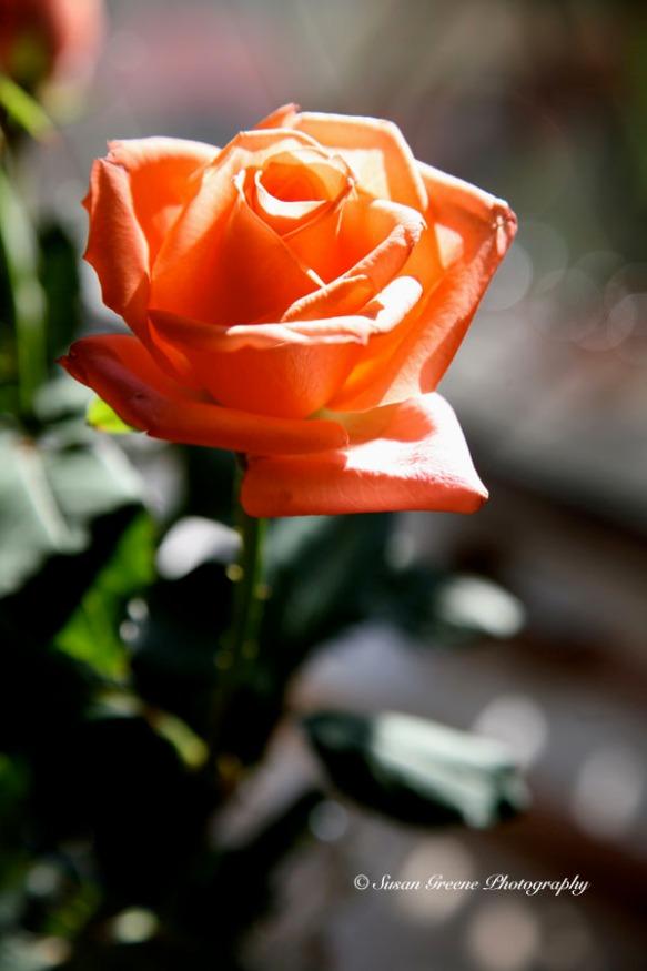 sidelit rose