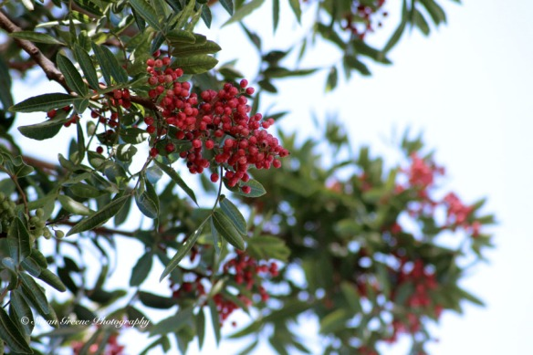 pepper tree berries