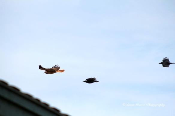 crows chasing hawk
