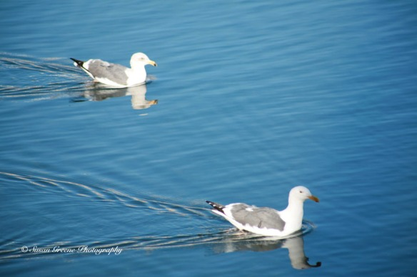seagulls on water