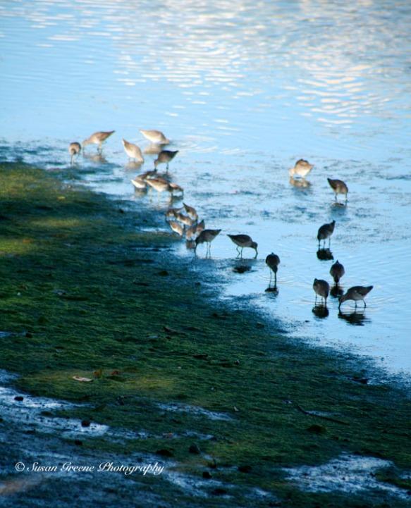shorebirds Ballona wetlands