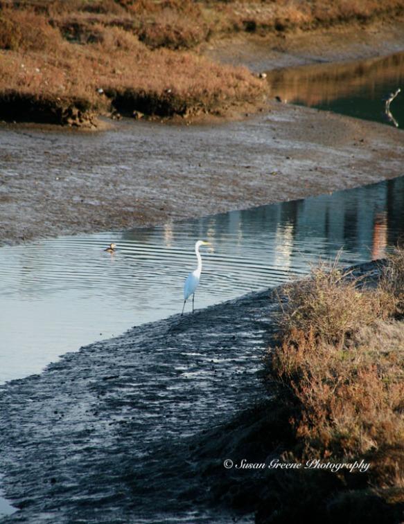 great egret at Ballona wetlands