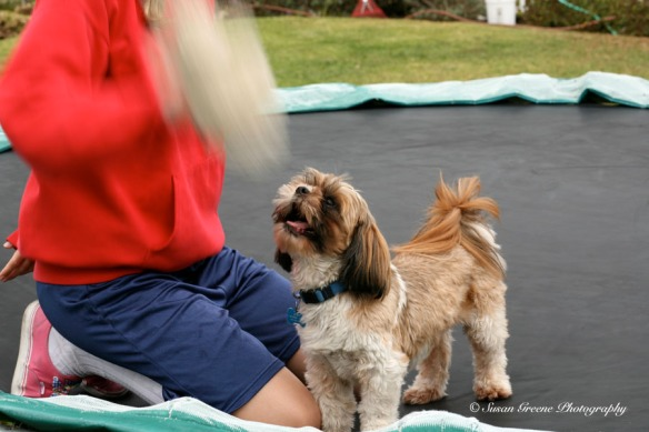 Shih tzu dog at play
