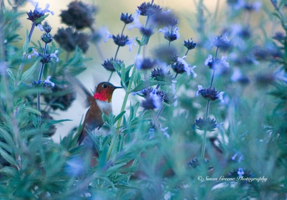 hummingbird and sage