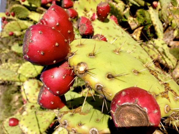Western Prickly Pear