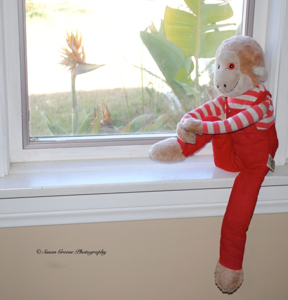 monkey in window3