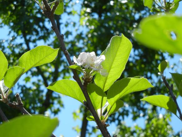 angels-apple-tree