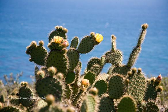 _MG_5453shore cactus