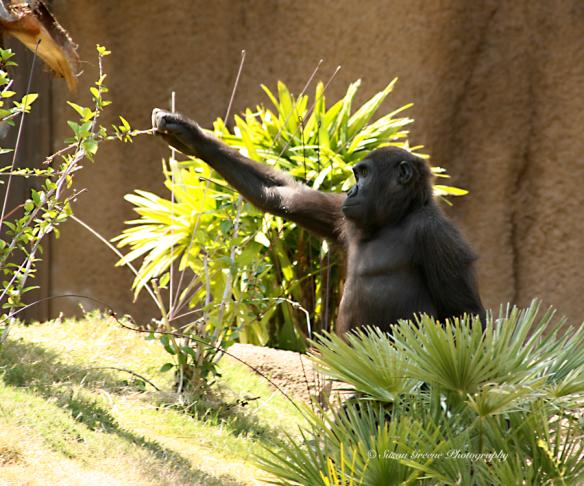 gorilla crop