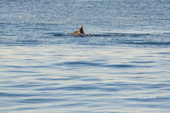 dolphin fluke