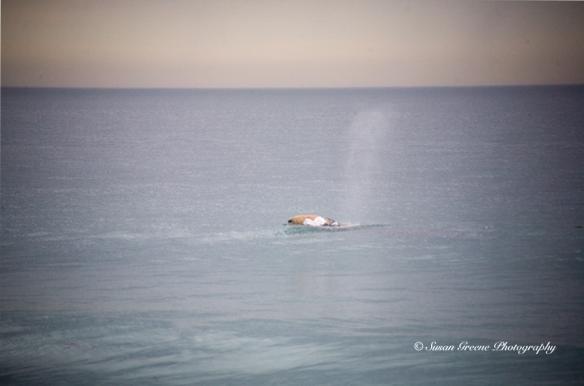 CA gray whale spouting